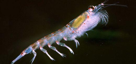 聽說南極冰洋磷蝦油能降血脂減肥是真的嗎?