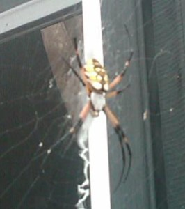 banana weaver spider