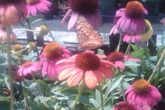 butterfly daisies