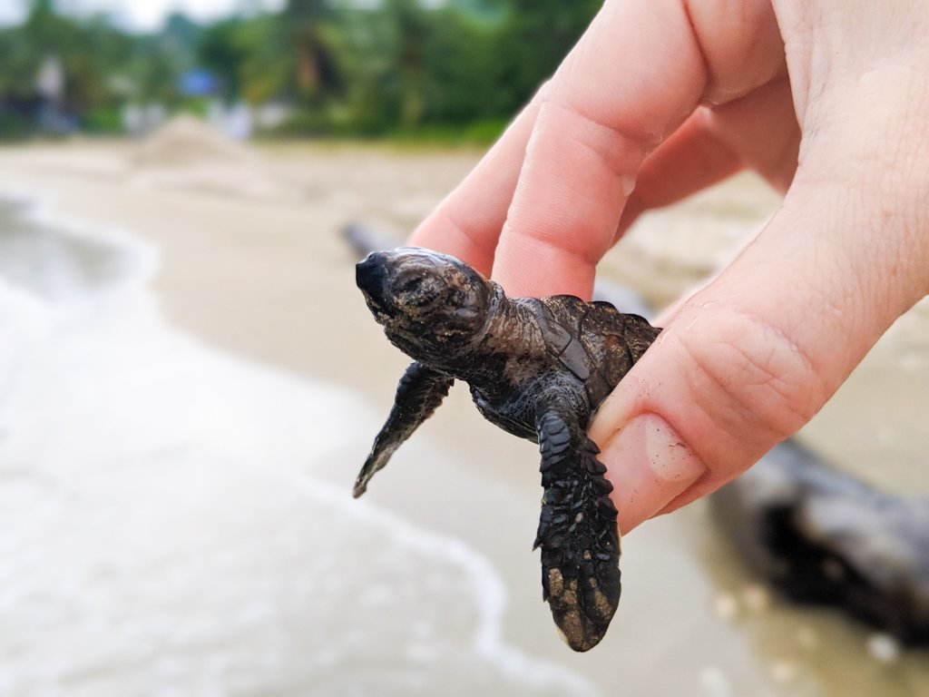 Sandals Foundation turtle release