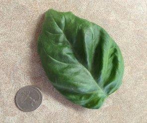 Fresh basil grown with our Aerogarden using hyroponics