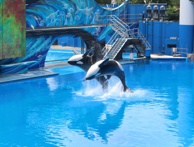 Orka-show-sea-world-killer-whale-one-ocean-show