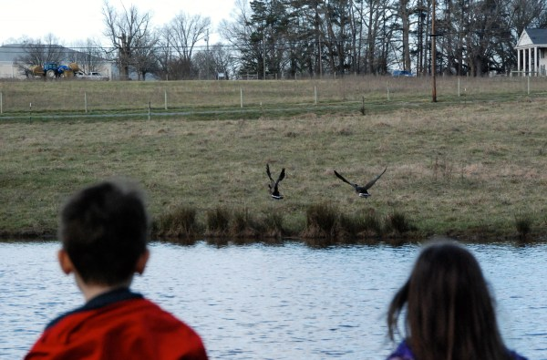 We got to watch these geese at the pond for awhile before they flew off.  They weren't too happy about us being there!