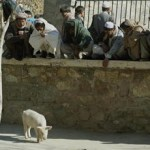 Afghanistan's sole pig quarantined due to flu fear