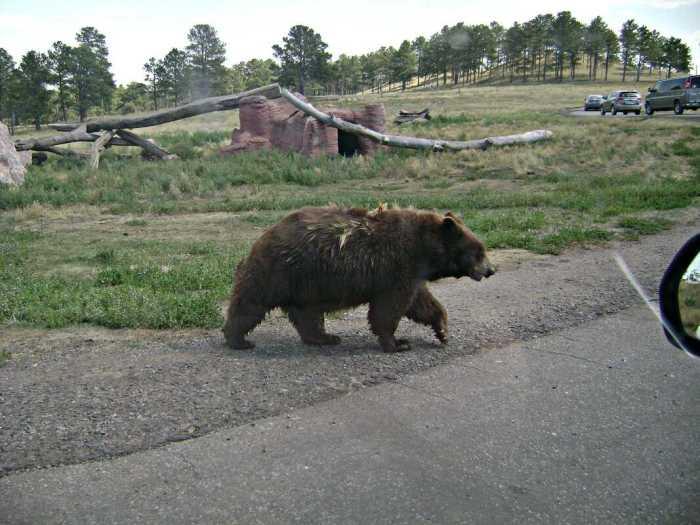 Bear crossing road at Bear Country USA