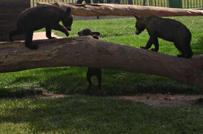 Bear Cubs on a log