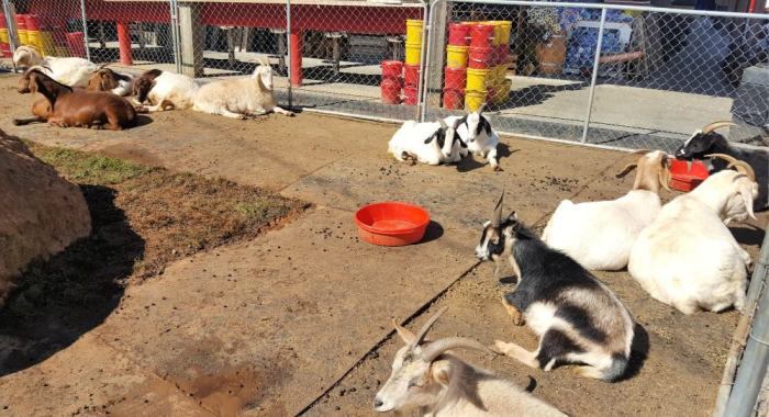 goats sunning at goats on the roof
