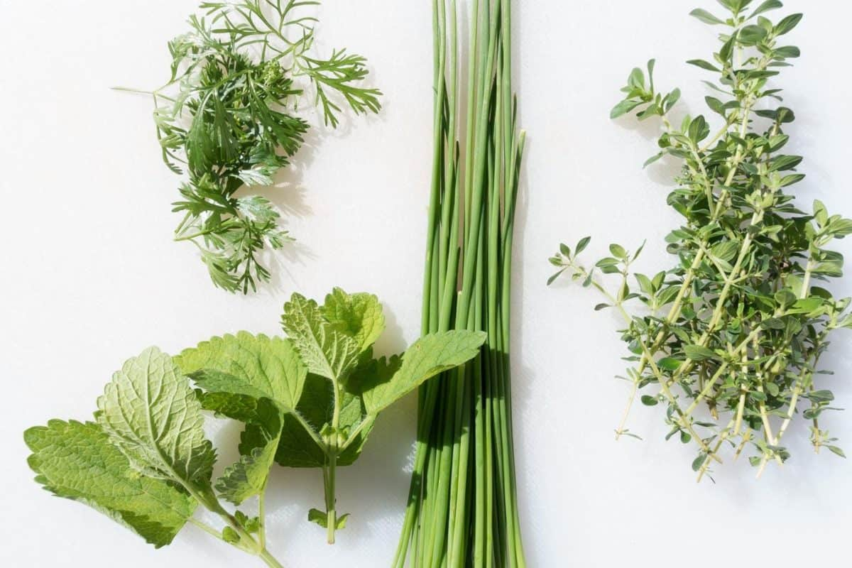herbs used in the carribean