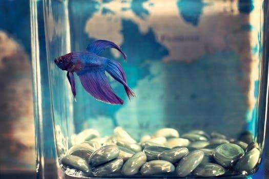 beta fish in fish tank