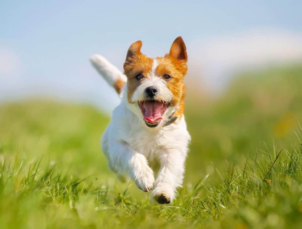 dog running towards owner who knows essential dog care tips