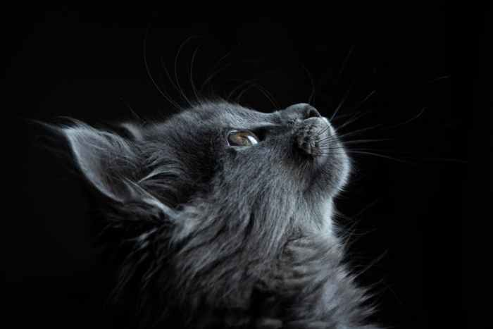 gray cat with black background