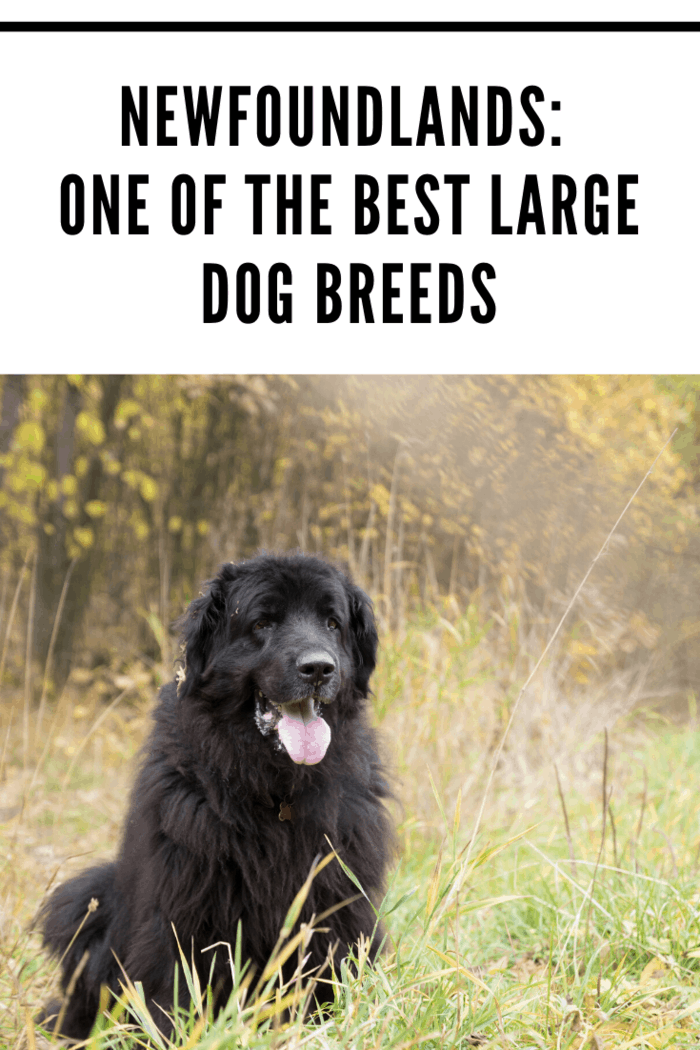 Newfoundlands are the gentle giants of the dog world. Originally bred to be rescue dogs, steadfastness, love, and loyalty are hardwired into their DNA.