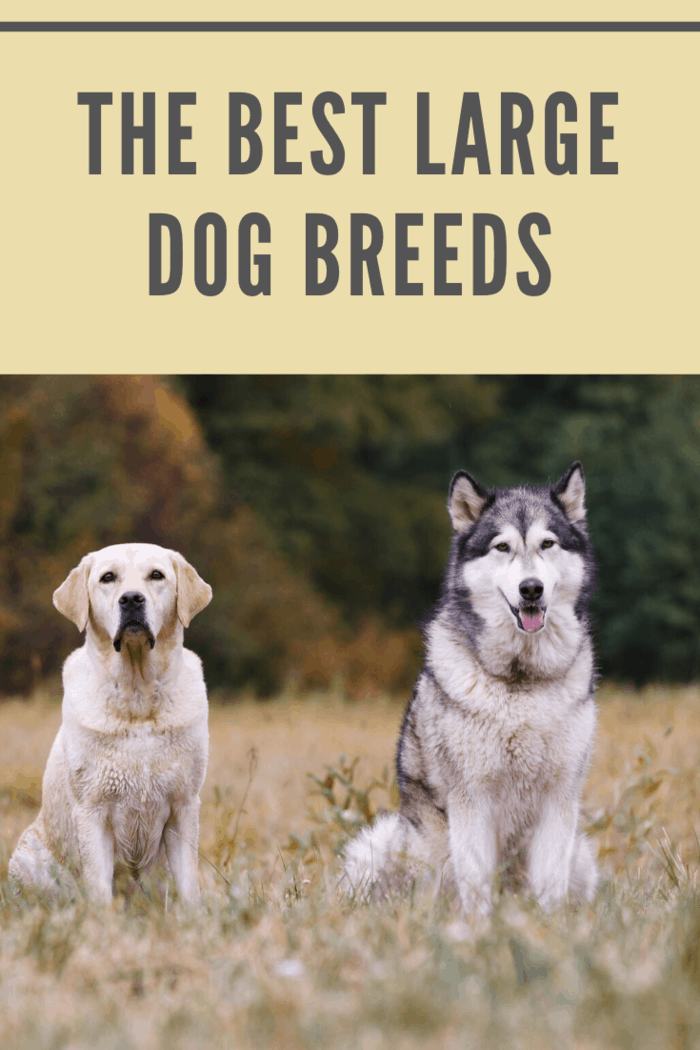 Find the best large family dog for your household from one of the breeds below.