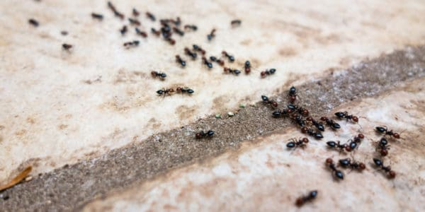 Pavement ants are an ant species that invade homes, following a trail of edible crumbs. These ants especially crave protein and also glucose, which is why they are also called sugar ants.