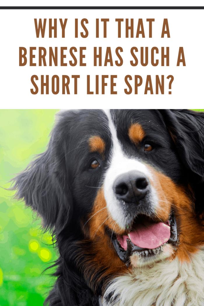 bernese mountain dog close up