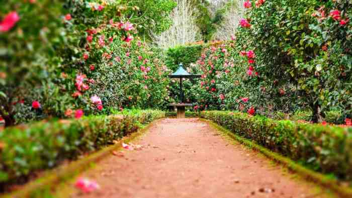 garden walkway with high roses on either side