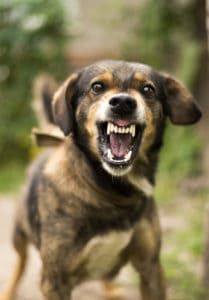 Enraged aggressive, angry dog. Grin jaws with fangs , hungry, drool.