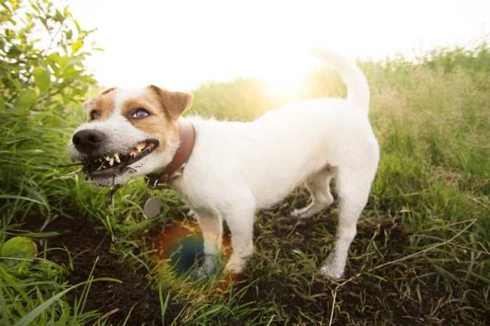 Crazy Jack Russell Terrier dog eating dirt. Jack rauusel terrier funny hunting