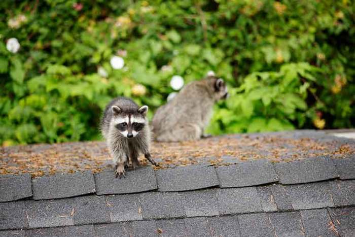 Mother racoon and her baby on the roof