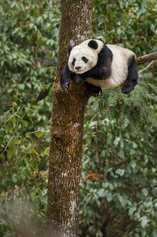 born in china panda in tree