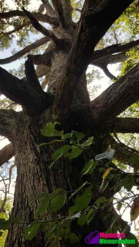 keffer-oak-looking-up-at-trunk