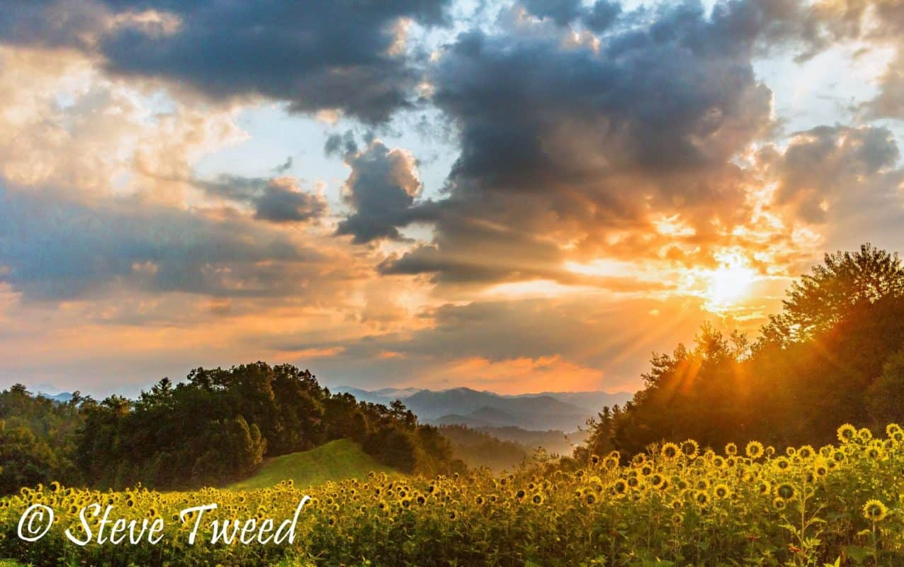 steve tweed sunflower in bloom at Tanyard Gap near Hot Springs, Madison County, North Carolina