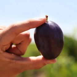 tulare-giant-sugar-plum-farm