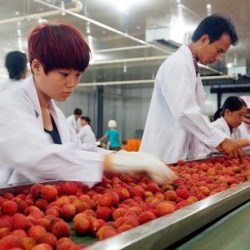 Seedless Lychee packing and sorting