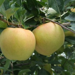 japanese-toki-apple-tree