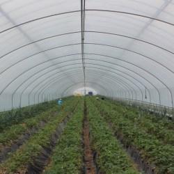 Korean Maehyang Strawberry Farm