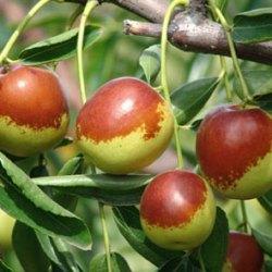 Ziziphus Jujuba Tree