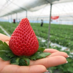 Japanese Strawberry fruit