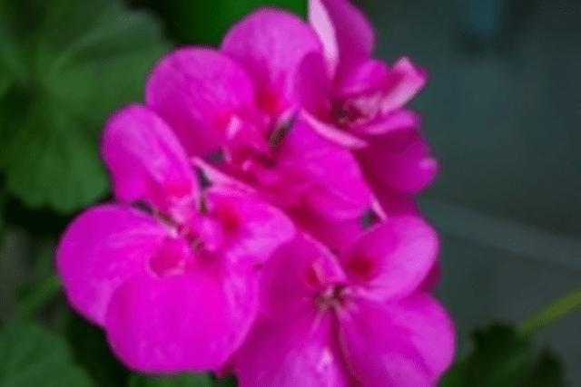 geranium1B