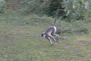 ヤーラ国立公園(猿)