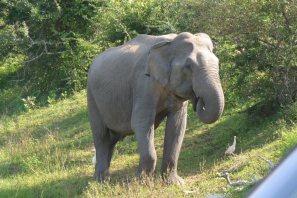 ヤーラ国立公園の象-2
