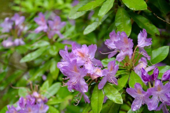 ペーナ宮殿内に咲くシャクナゲ