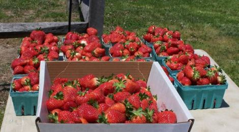 Pick Your Own Strawberries at these Maryland Farms
