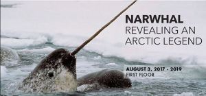 narwhal smithsonian
