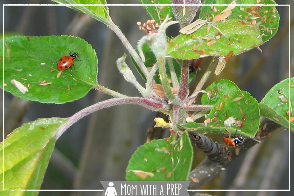 Having a problem with aphids on your trees or in the garden? Release the bug stompin' powerhouse that is the ....ladybug? You betcha! And how incredibly cute are they, anyway?