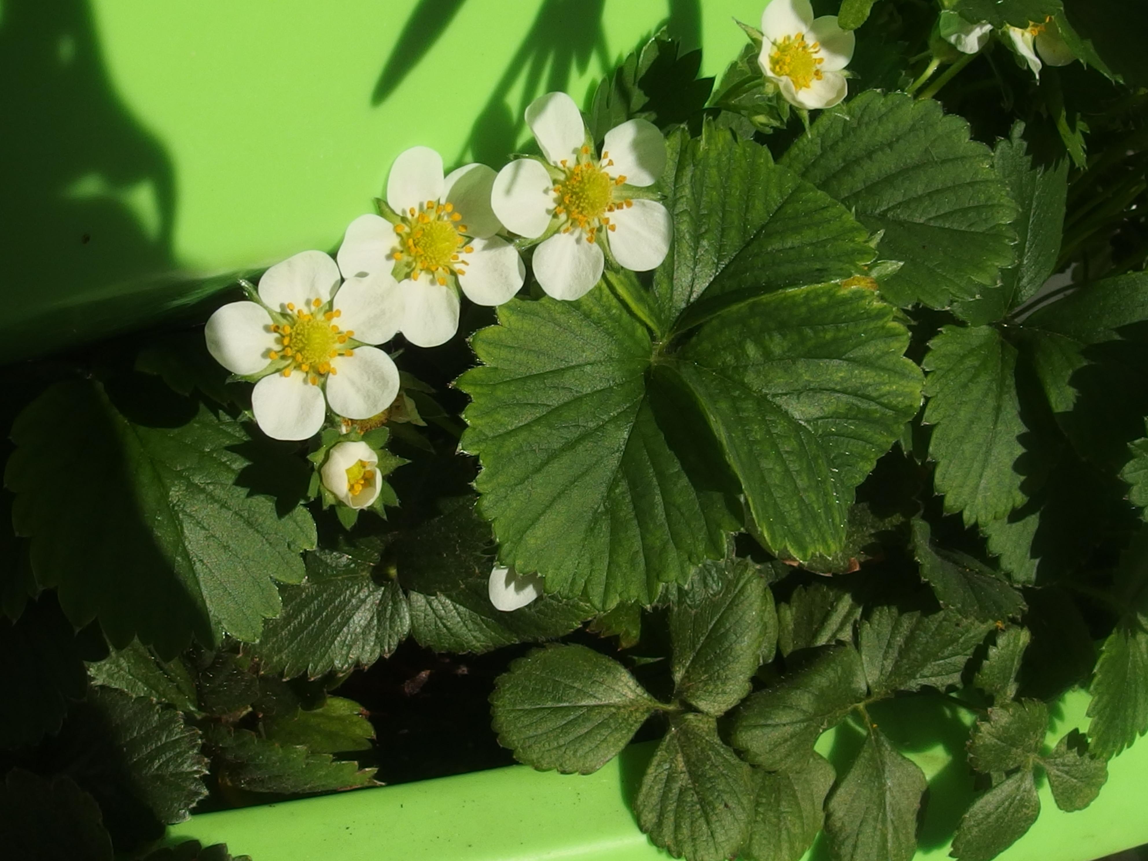 La fraise des bois et des jardins… sur le balcon