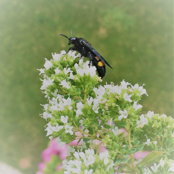 5 insectes auxiliaires à inviter sur son balcon