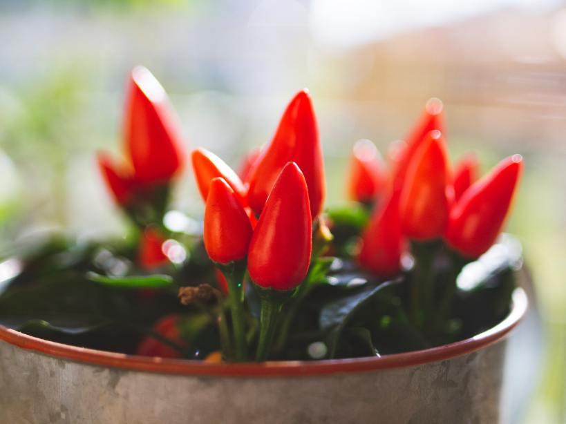 Semer les piments en mars est souvent nécessaire