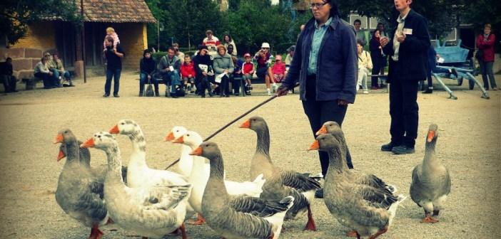 Parade des oies et des cochons à l'Écomusée dAlsace © French Moments