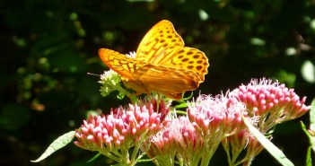 Papillon Sundgau