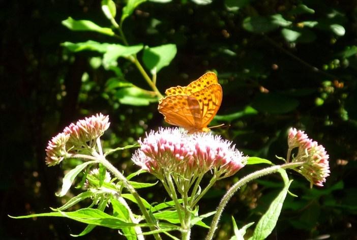 Papillon de Lamartine Sundgau