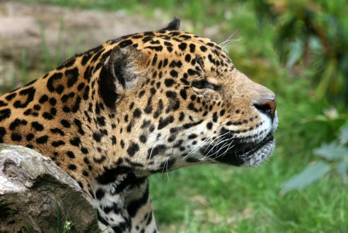 Jaguar Zoo Amneville © Emmanuel FAIVRE - licence [CC BY-SA 3.0] from Wikimedia Commons