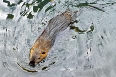 Un ragondin aperçu dans le quartier de la Petite Venise de Colmar © French Moments