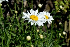 Marguerites © French Moments