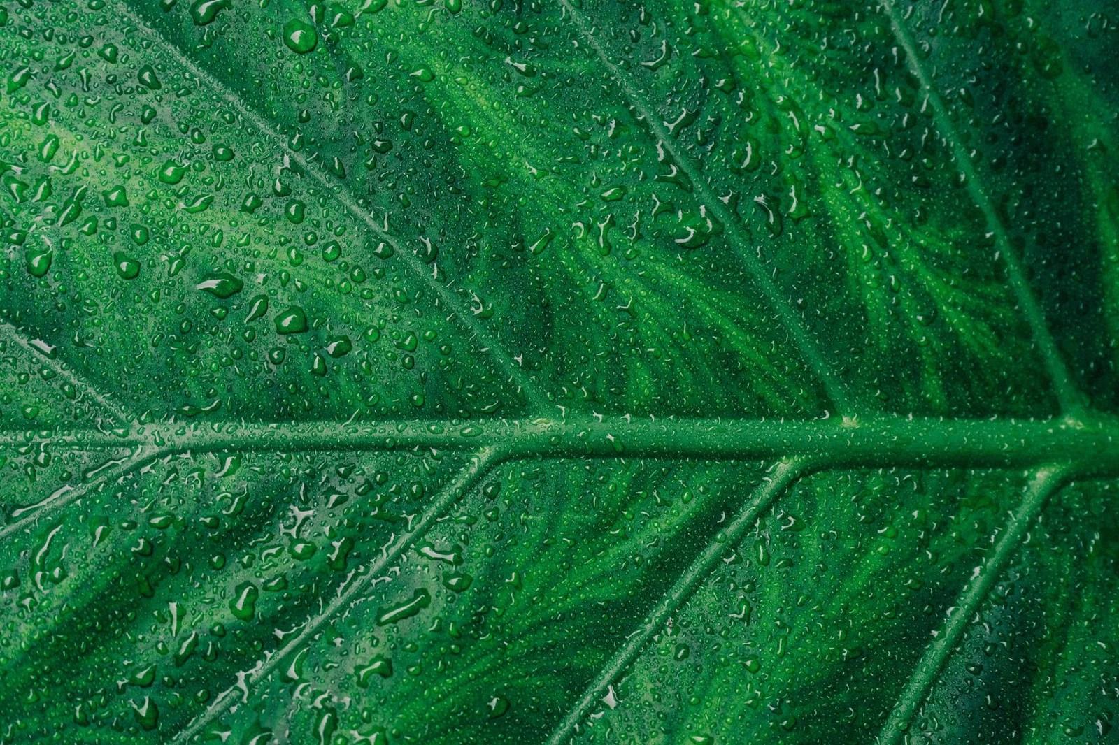 Grande feuille verte