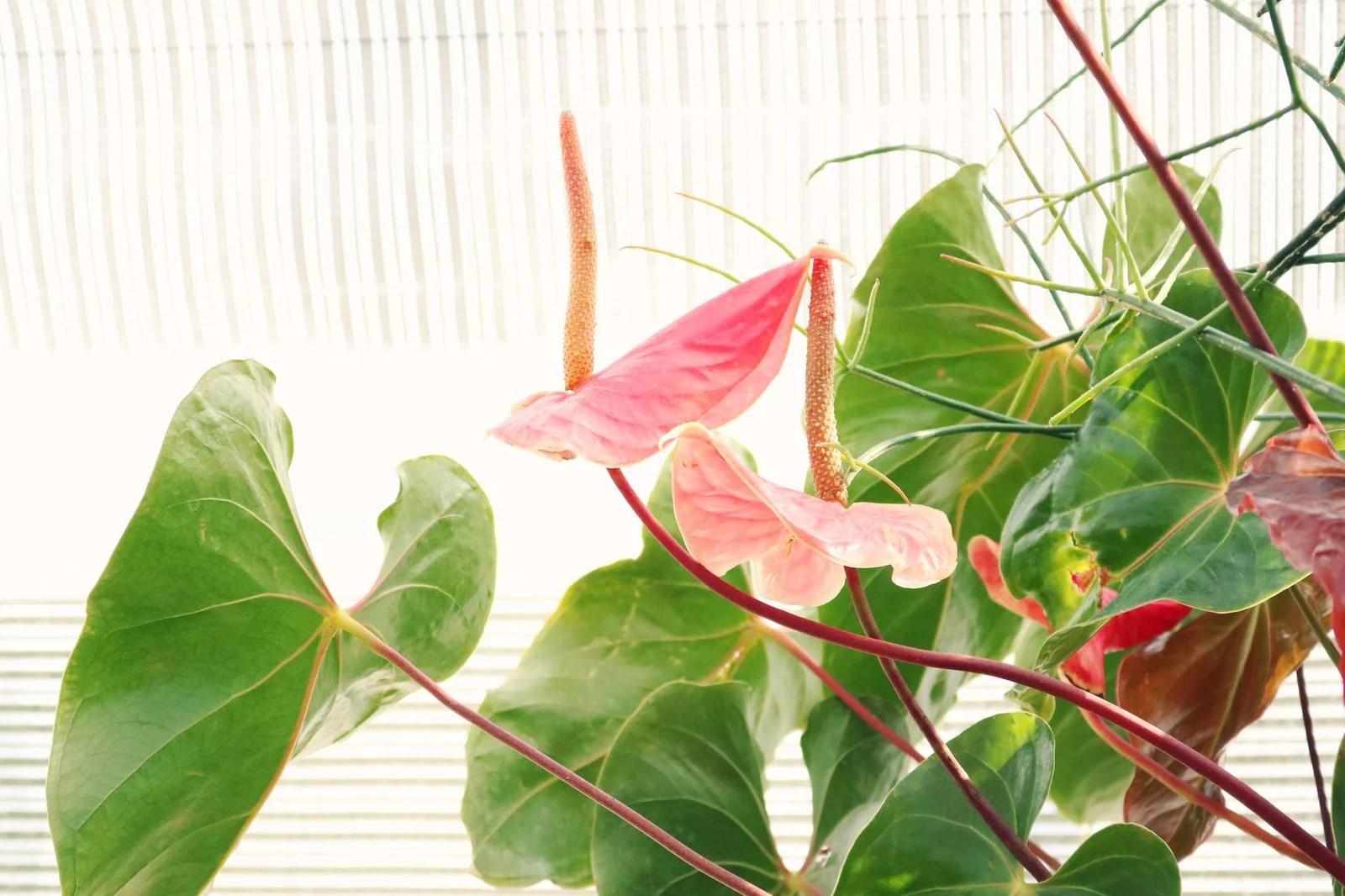 Anthurium (anthurium andraenum)